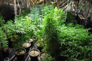 marijuana-plants-2